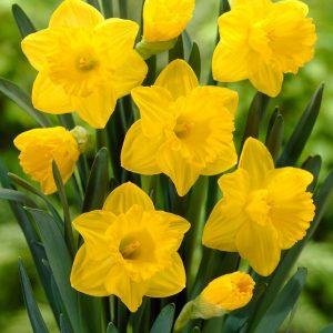 8600399_01v_trumpet-daffodil-dutch-master-set-of-8